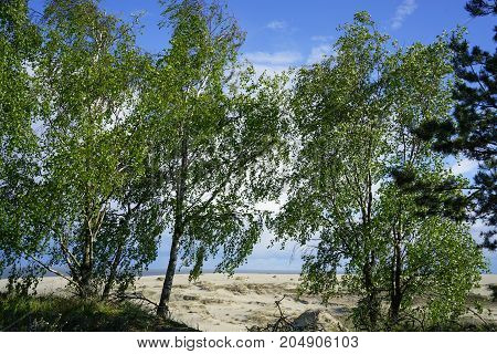 birch standing amid the dunes of the Curonian spit Russia