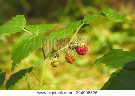 Close-up beautiful Wild raspberry in a forest