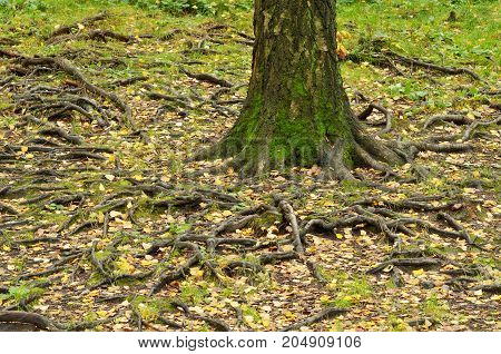 Autumn in the forest.Large tree roots on the surface of the earth .