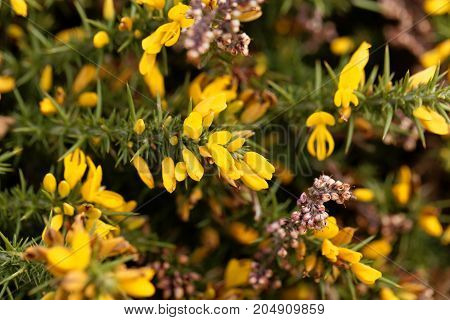 Flowers Of Common Gorse (ulex Europaeus)