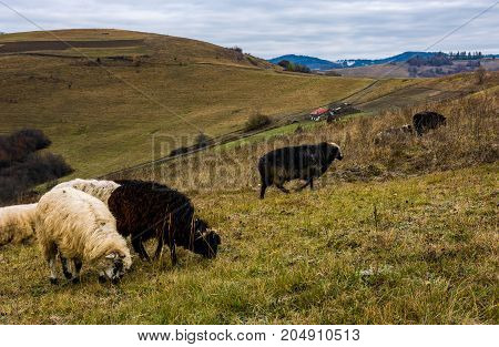 herd of sheep on hillside in rural area. lovely mountainous countryside scene in late autumn