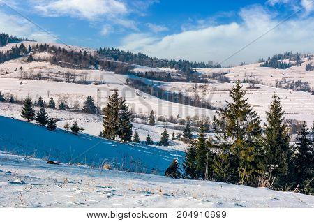 Spruce Trees On Rural Hillside In Winter