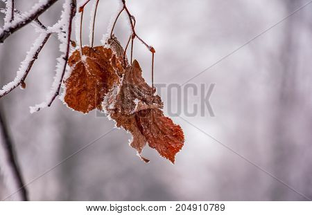 Weathered Brown Foliage On A Frozen Branch