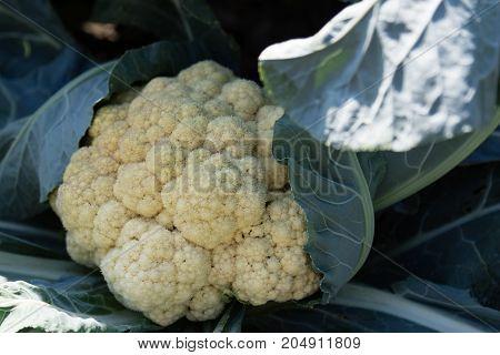 Raw Organic Cauliflower