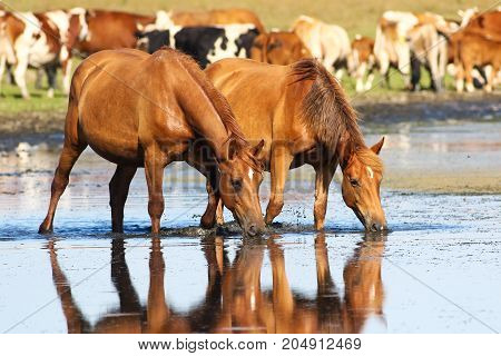 Two wild sorrel horses drinking water on watering place