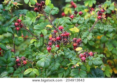 Dog-rose berries in autumn. Dog rose fruits (Rosa canina). Wild rosehips in nature.