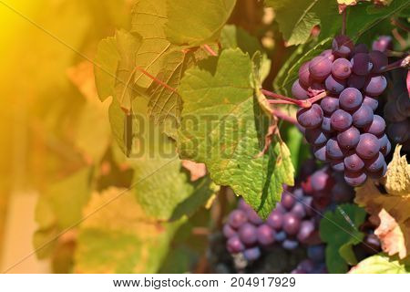 Wine  grapes in vineyard in summer time