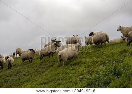 Sheep on the dike close to Ballum Lock in Danish Wadden Sea. Danish national park under UNESCO World Heritage.