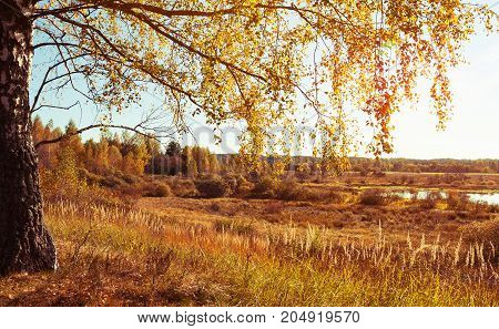 Autumn landscape Russia Siberia. Nature tree with golden leaves.