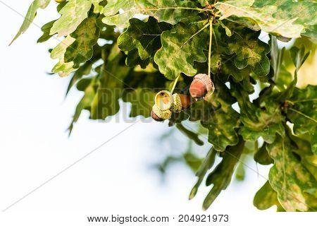 Ripe Brown Acorns Growing On A Tree