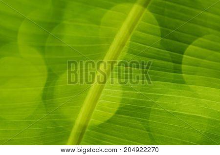 Green Banana Leaf And Spot Background