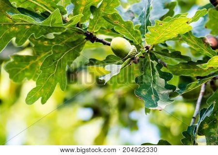 Unripe Green Acorns Growing On A Tree