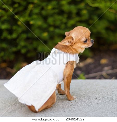 Small dog chihuahua in white dress sitting near the trees in the park