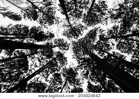 The black silhouette of the tree taken from the bottom corner and have the white sky is the background. Photo of Pine tree from the bottom up on top for a background.