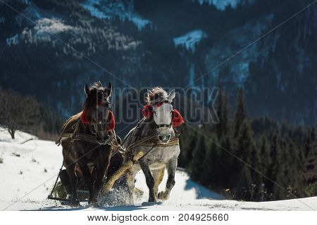 Two horse open sleigh on a mountain hill in winter. Celebration decoration on horses. Christmas sleigh with two horses running on white snow.