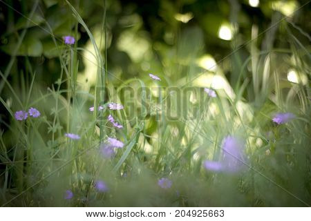 Small violets grow between the blades of grass in the spring.