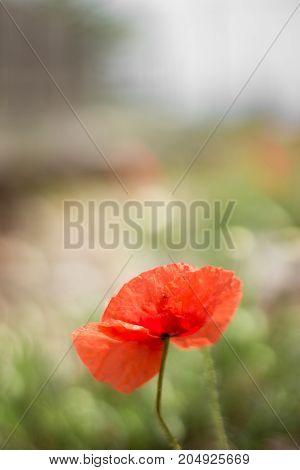 A poppy isolated in the surrounding environment.