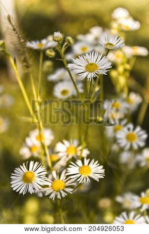 Beautiful group of daisies in spring time. Close-up.