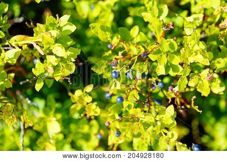 blueberry Vaccinium myrtillus, fruits and leaves with beautiful blur background