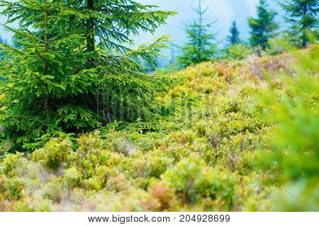 blueberry Vaccinium myrtillus in mountain land, blueberry in forest