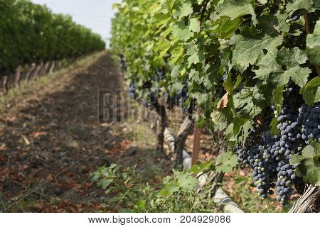 Bunch of grapes hanging on a grape tree in a grape yard in the Nort of Greece focus on forground.