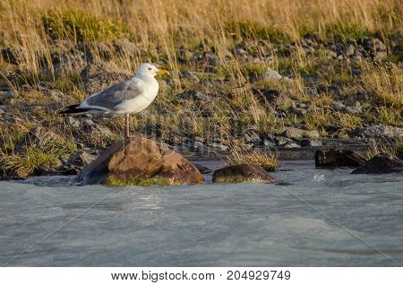 White seagull flying over the river spread wide wings