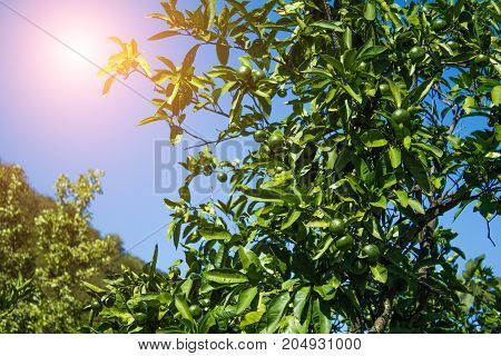 Green mandarins hanging on a tree against a colorful sky background