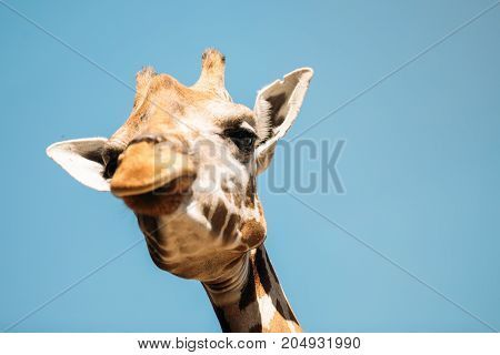 Close-up picture of funny girafee looking into camera