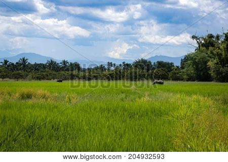 Two buffalos on the middle of the field rice with a background of natural trees and beautiful sky.