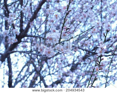 Blooming almond tree with white and pink flowers in springtime