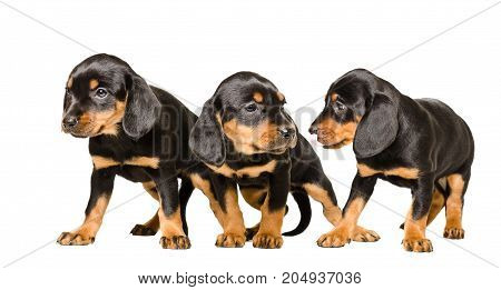 Three cute puppy Slovakian Hund, standing isolated on a white background