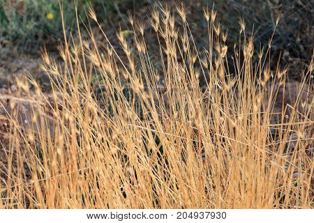 Dry Spiked grass background