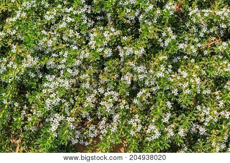 Many Small Bright White Flowers