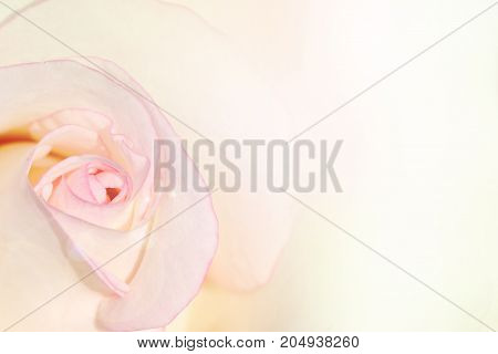 White rose petal edge with pink color for background.