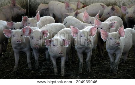 Herd of pigs in the pigsty room