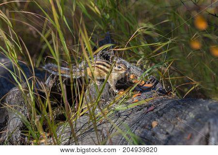 Chipmunk in the grass on a fallen tree trunk