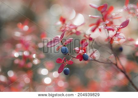 ripe blueberry in autumn on bushes with reddened leaves on blurred background closeup