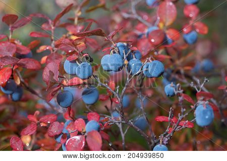 ripe blueberry in autumn on bushes with reddened leaves closeup
