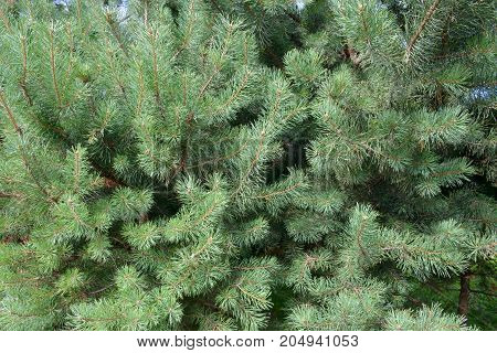 Fluffy branches of blue spruce gentle. Lovely delicate luxurious spruce needles. Fir tree close.