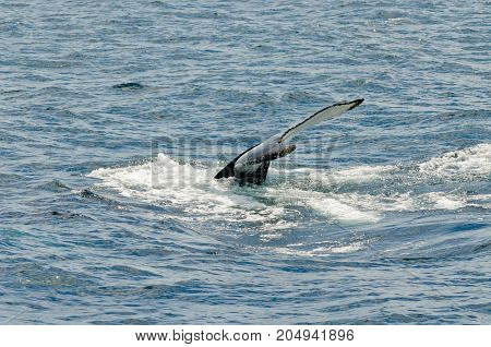 picture of Swimming humpback whale in sunny day