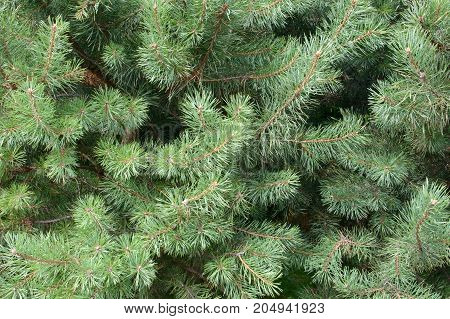 Branches of blue spruce gentle. Lovely delicate luxurious spruce needles. Fir tree close.