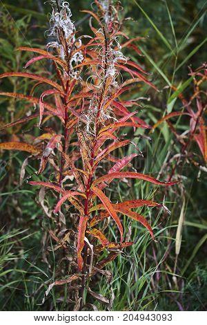 red Epilobium angustifolium willowweed fireweed sally-bloom close up