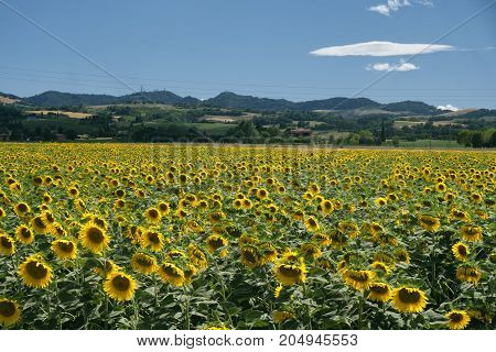 Field of sunflowers along the via Emilia near Gallo between Osteria Grande and Castel San Pietro. Rural landscape at summer