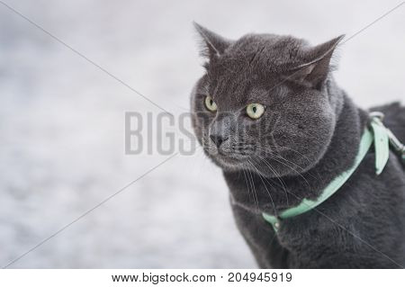 portrait of suprised russian blue cat outdoor, in harness selective focus