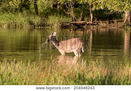 A whitetail doe eating from the bottom of a pond.