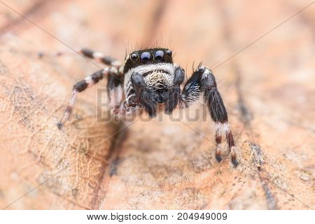Super macro male Carrhotus Sannio or Jumping spider on leaf
