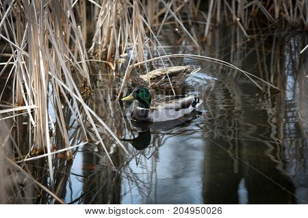A pair of mallard ducks swimming in a pond.