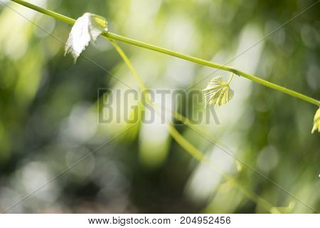 Green Grape leaf in the nature with bokeh and natural light background natural concept Tree and nature concept