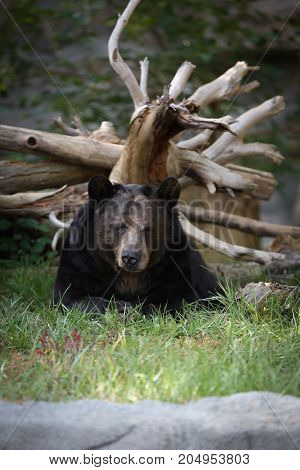 Black bear resting by a dead tree.