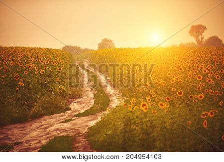 Dirt road after the rain in the sunflower field at sunset